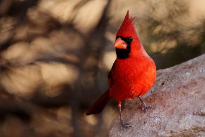 northern-cardinal-77-1024x684