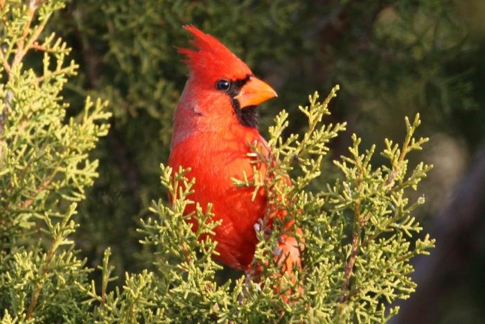 northern-cardinal-82-1024x684