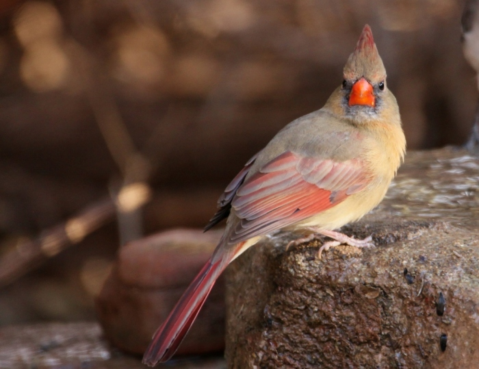 northern-cardinal-85-1024x789