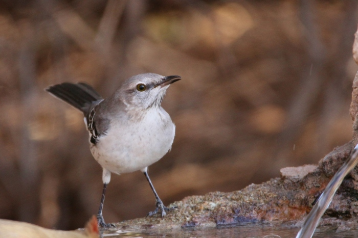 northern-mockingbird-27-1024x684