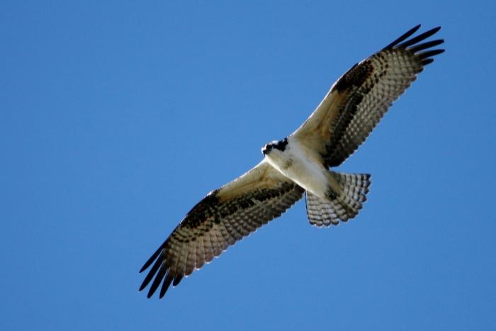 osprey-19-1024x684