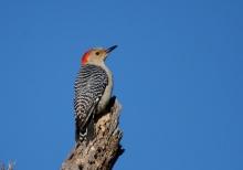 red-bellied-woodpecker-28-1024x721