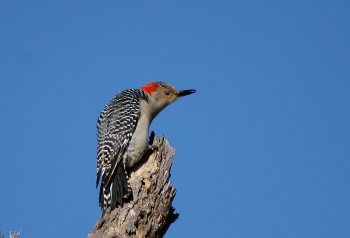 red-bellied-woodpecker-29-1024x699