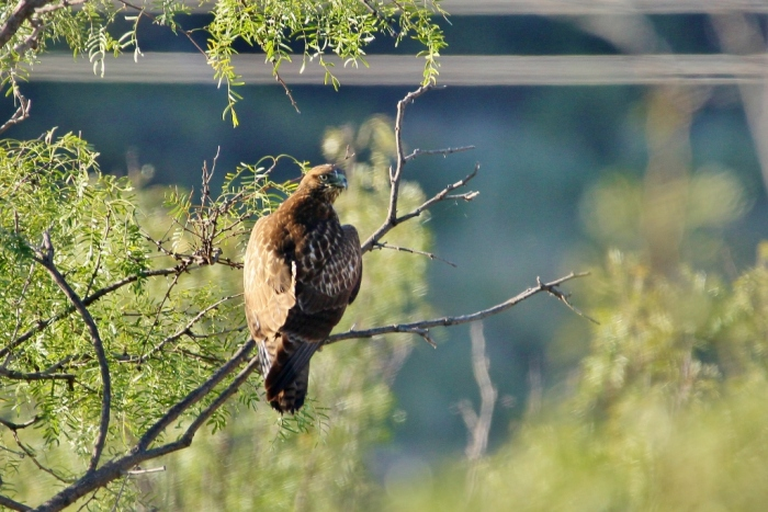 red-tailed-hawk-47-1024x684