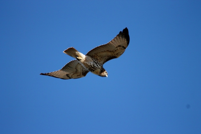 red-tailed-hawk-48-1024x683