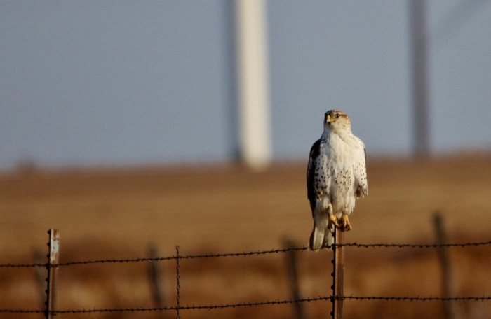 red-tailed-hawk-49-1024x668