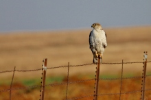 red-tailed-hawk-51-1024x684