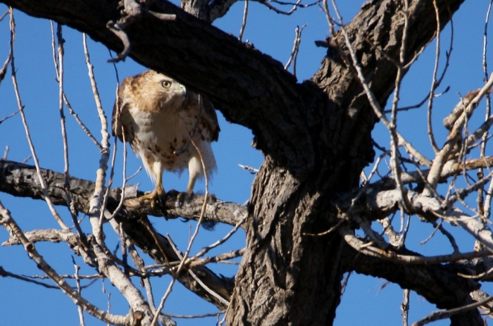red-tailed-hawk-54-1024x678