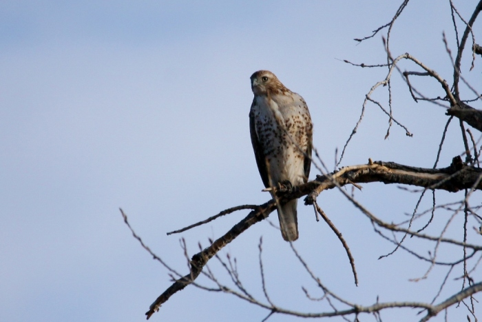 red-tailed-hawk-55-1024x684