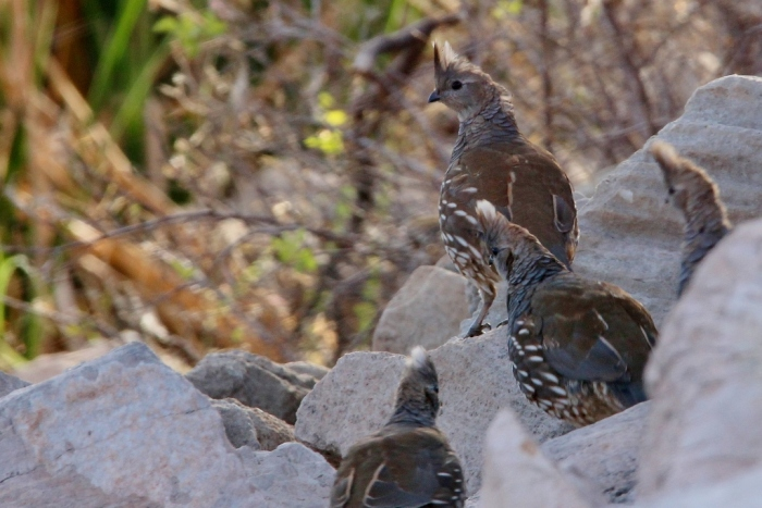 scaled-quail-13-1024x684