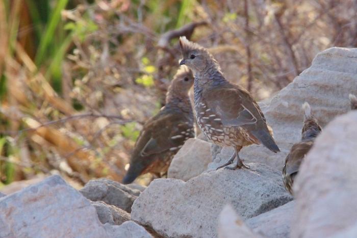 scaled-quail-14-1024x684
