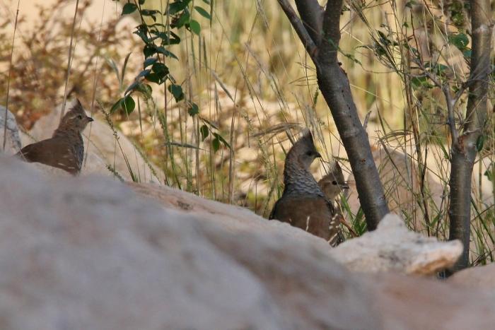 scaled-quail-16-1024x684