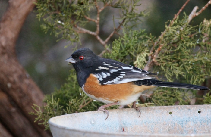 spotted-towhee-4-1024x666