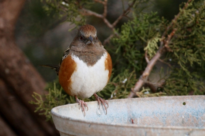 spotted-towhee-8-1024x684