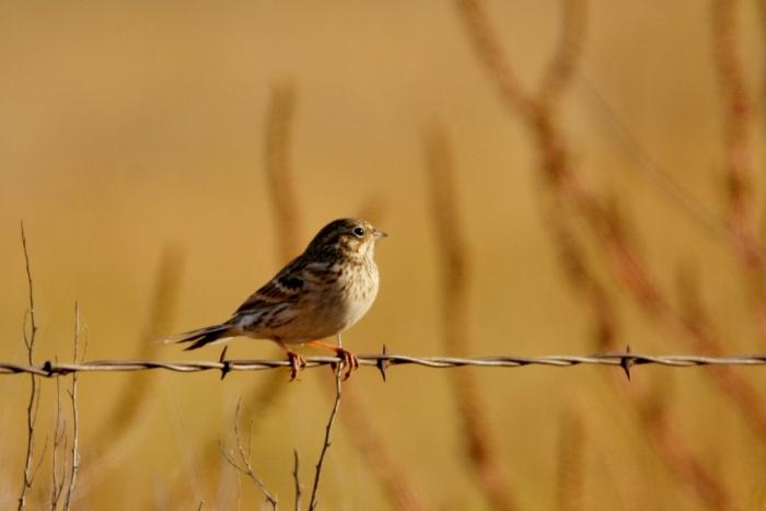 vesper-sparrow-5-1024x684
