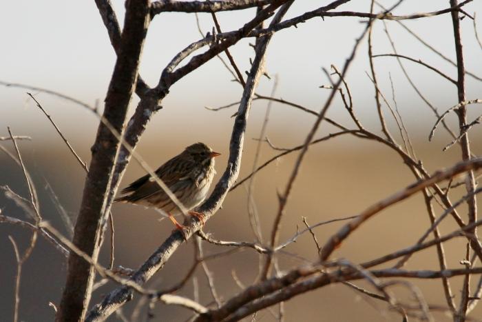 vesper-sparrow-6-1024x684