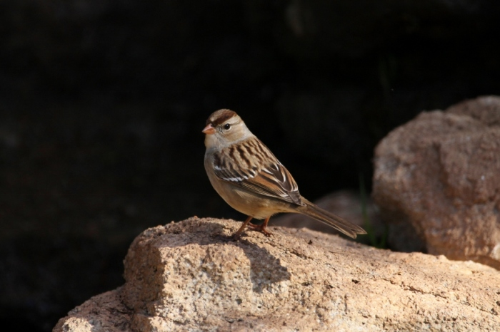 white-crowned-sparrow-18-1024x683