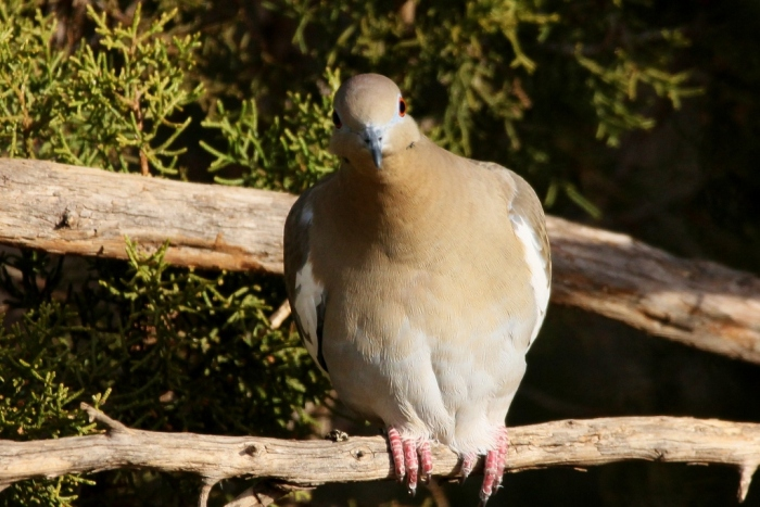white-winged-dove-1-1024x684