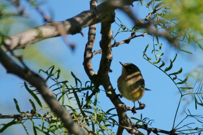 yellow-rumped-warbler-1024x684