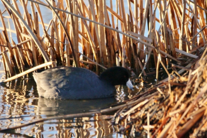 american-coot-28-1024x684