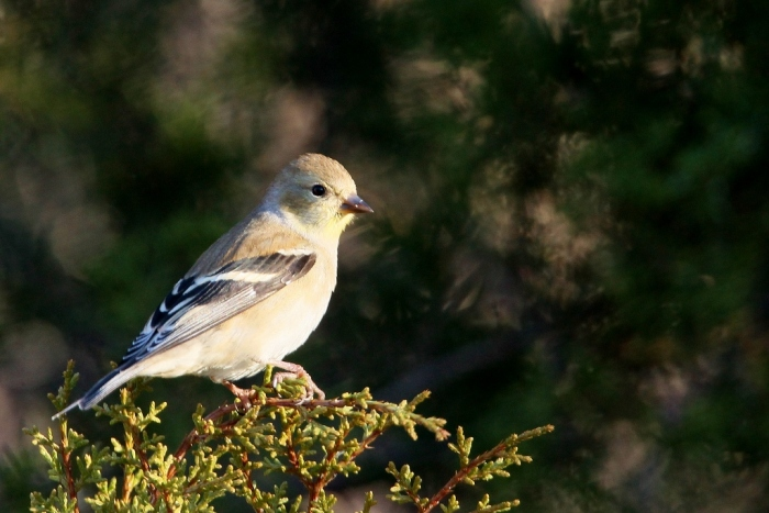 american-goldfinch-10-1024x684