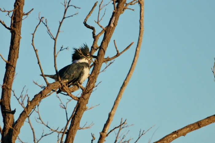 belted-kingfisher-1024x684