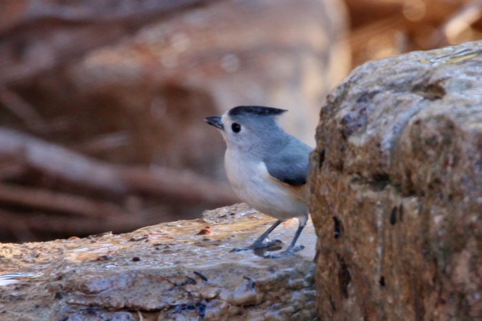 black-crested-titmouse-16-1024x682