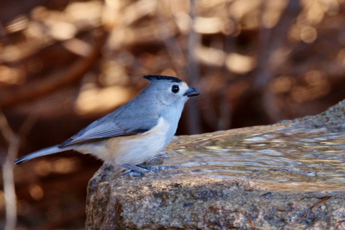 black-crested-titmouse-19-1024x684