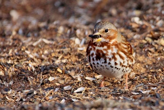 fox-sparrow-1024x684