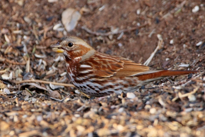 fox-sparrow-13-1024x684