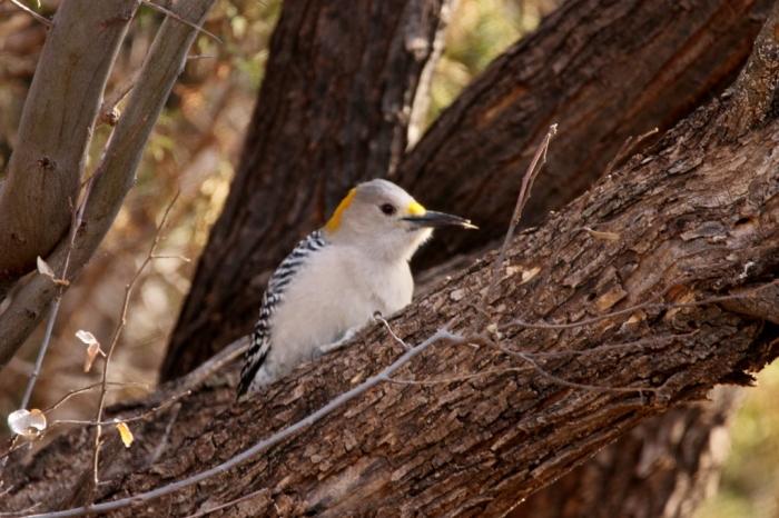 golden-fronted-woodpecker-42-1024x683