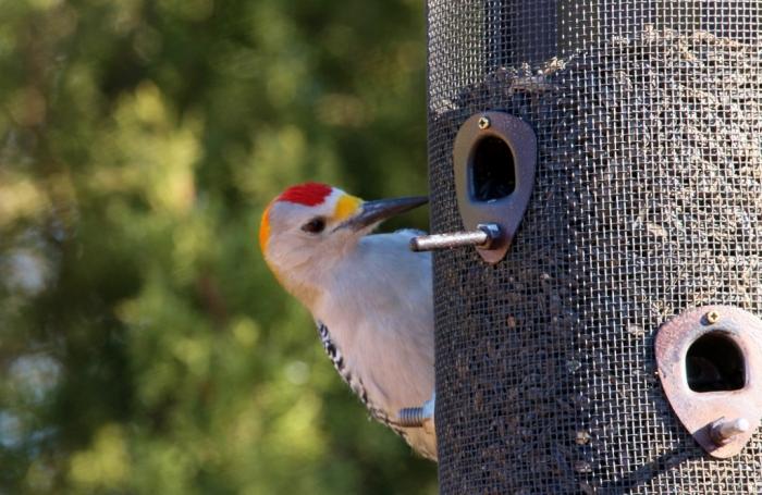 golden-fronted-woodpecker-43-1024x667