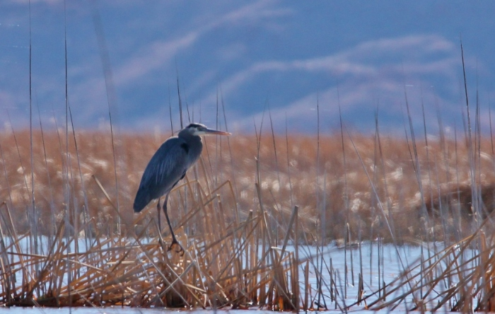 great-blue-heron-25-1024x650