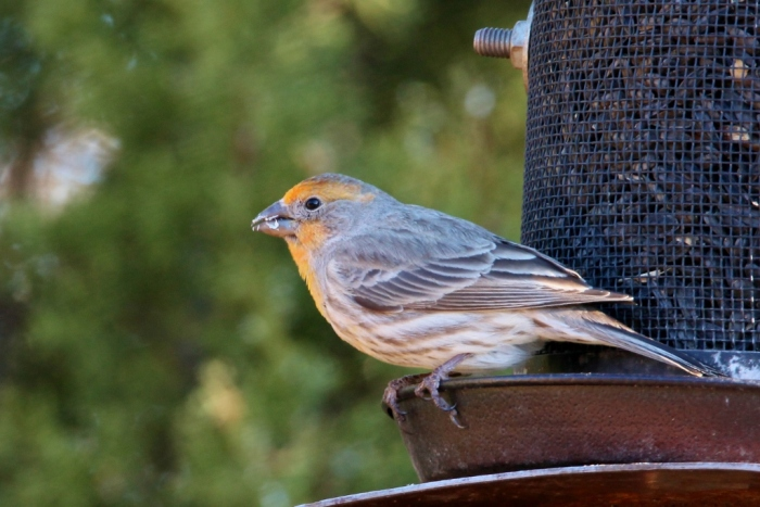house-finch-14-1024x684