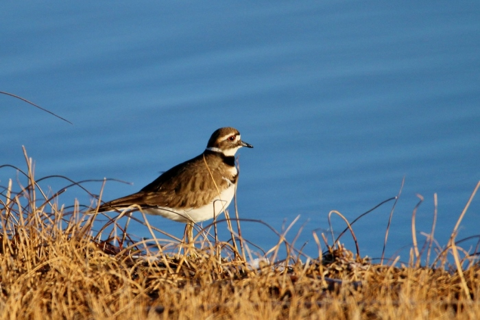 killdeer-17-1024x684