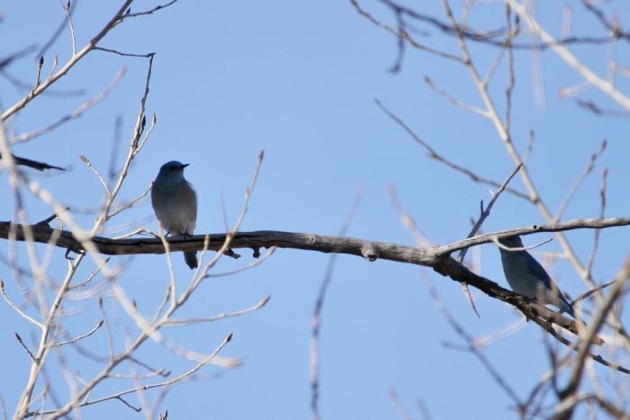 mountain-bluebird-1-1024x684