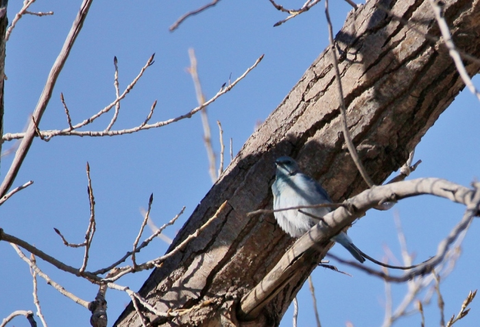 mountain-bluebird-2-1024x698
