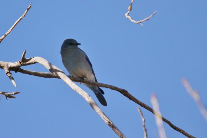 mountain-bluebird-3-1024x684