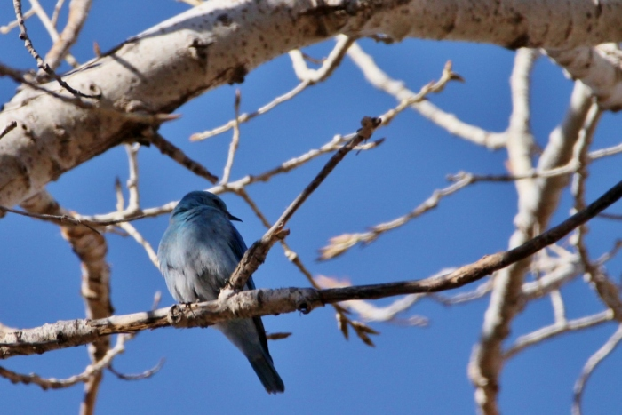 mountain-bluebird-4-1024x684