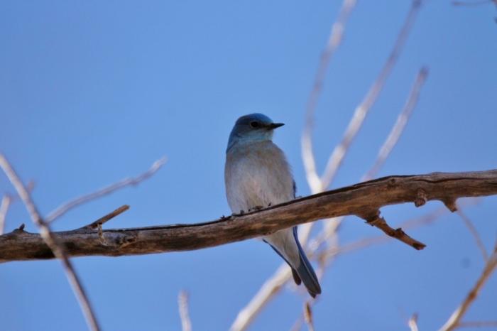 mountain-bluebird-5-1024x683