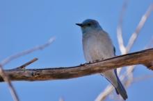 mountain-bluebird-6-1024x684