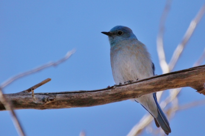 mountain-bluebird-6-1024x684
