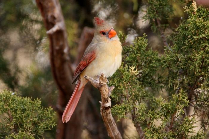 northern-cardinal-90-1024x683