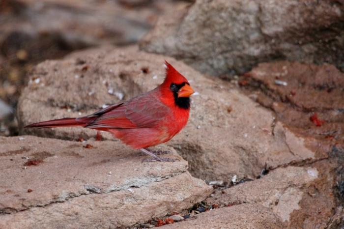 northern-cardinal-92-1024x683
