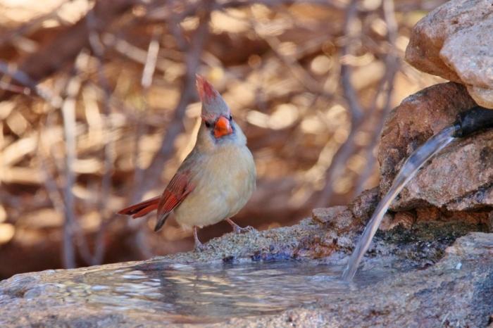 northern-cardinal-95-1024x683