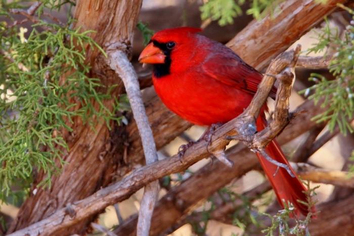 northern-cardinal-97-1024x684