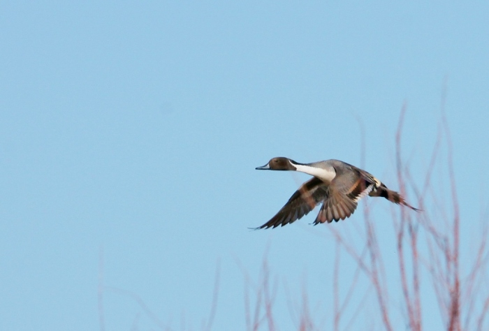 northern-pintail-12-1024x694