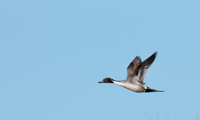 northern-pintail-14-1024x616