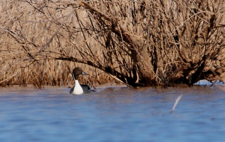 northern-pintail-2-1024x651