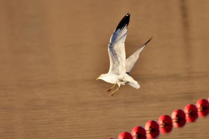 ring-billed-gull-11-1024x684